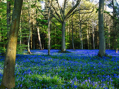 Blue Spring (algo) Tags: blue trees england green beautiful bluebells photography interestingness spring topf50 topv333 searchthebest topv1111 topv999 may explore algo topf100 bluebell 100f chilternhills chilternforest explore22 holidaysvacanzeurlaub 90517 sonya300 yourwonderland searchthebestnew