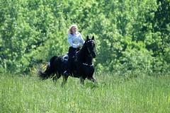 Friesian Horses Running Friesian Stallion Keegan Larissa Allen Tags Horse Playing Black Water