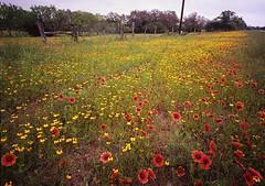 Blanco County: Indian Blankets and Greenthread -- May '07 (wanderingYew2) Tags: film mediumformat geotagged 6x7 wildflower firewheel filmscan texaswildflowers indianblanket mamiya7 mamiya7ii greenthread geo:lat=30396282 geo:lon=98532139