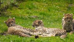 P1020653 (lychee_vanilla) Tags: portrait animal cat zoo tiere wildlife katze animale tier gepard acinonyxjubatus felidae zoomnster anmials