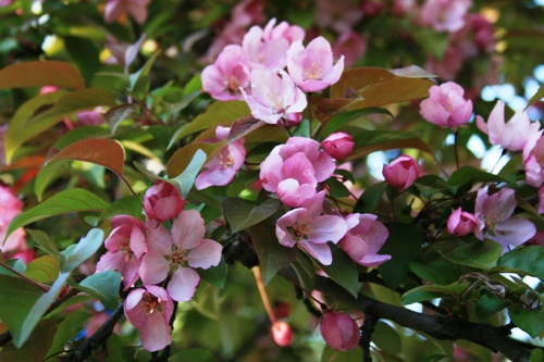 pin crabapple blossoms