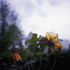I love roses among flowers most. (ensemble_atk) Tags: roses flower 120 6x6 mamiya film analog square kodak 100 atk e100vs manualfocus trl yelloworangeflower kodakektachromee100vs positivefilm hanakairo mamiyac220professional mamiyasekkor55mmf45