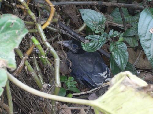 你拍攝的 1台灣藍鵲寶寶。