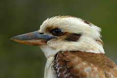 Kookaburra (andrewfuller62) Tags: nature nikond70 australia kookaburra laughingkookaburra coth peaceaward kingfisherfamily platinumgolddoubledragonawards doubledragonawards naturescreations dragondaggerphoto dragondaggeraward zuzkasfaves platinumpeaceawards