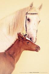 Horse 1 (إياس السحيم) Tags: