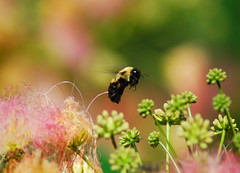 Hovering Bee (Proleshi) Tags: pink flowers green nature insect fly bokeh bee bumble mimosa hover yellowandblack albizia albiziajulibrissin julibrissin