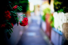 where the alley has no name (moaan) Tags: life leica blue flower color rose 50mm spring alley flora backalley dof bokeh may tint f10 neighborhood utata bloom flowering noctilux hue 2009 rosey leicam7 blooming m7 florescence vicinity inbloom efflorescence fujivelvia100 rvp100 floriculture explored inlife leicanoctilux50mmf10 gettyimagesjapanq1 gettyimagesjapanq2