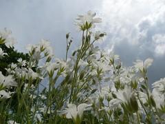 fiori e nuvole (perplesso42) Tags: flowers sky clouds nuvole cielo fiori abigfave zabrajda macromarvels perplesso42 gfeffe