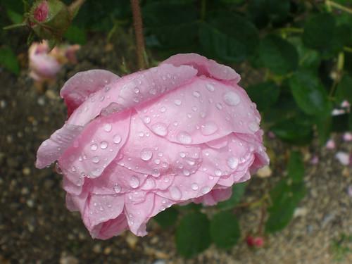 Provins // Raindrops like jewels