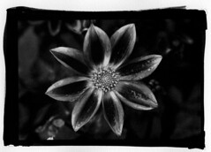 test DN - 3 (20x25) Tags: blackandwhite bw stilllife black france flower noiretblanc alt nb palladium bwblackandwhite digitalnegative altprocess inkjettransparencynegative alrprocess