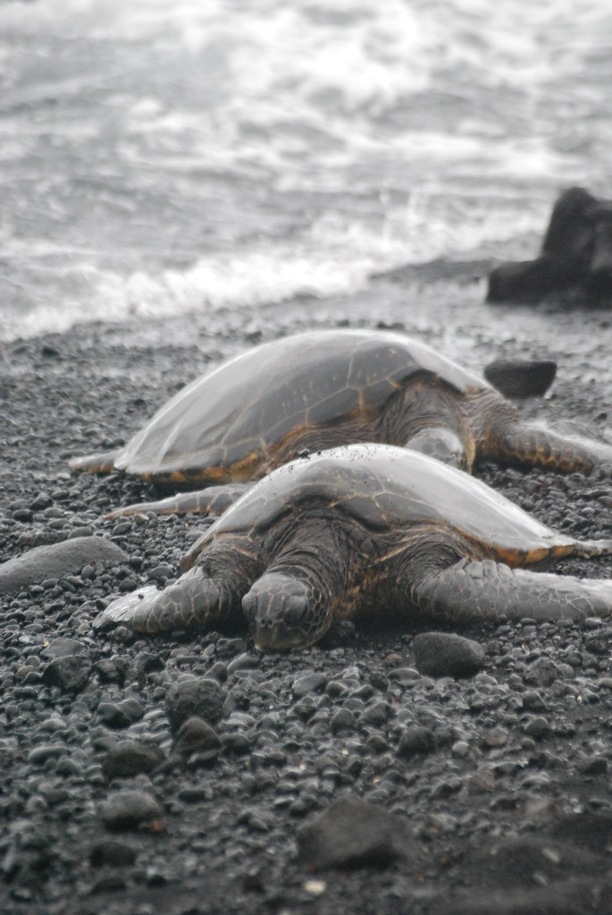 Green Turtles, Black Sands
