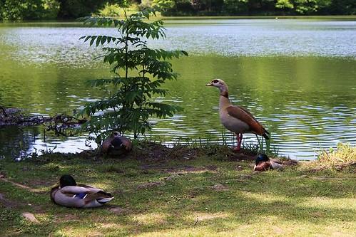 ducks in pond in park