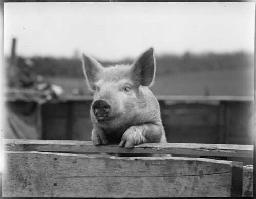 Pig by Boston Public Library, on Flickr