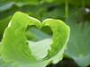 """荷 Lotus (ddsnet) Tags: 荷花 lotus 荷 蓮 蓮花 荷葉 蓮葉 蓮蓬 水生植物 aquaticplants sony cybershor hx100v cybershot """"aquatic plants"""" ハス aquatic plants"""