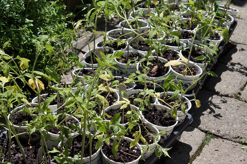 tomato seedlings 006