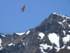 The bearded vulture - king of the Alps (Bn) Tags: park blue shadow sky sun snow mountains alps bird nature water walking geotagged heidi austria golden waterfall spring woods topf50 rocks king eagle hiking wildlife falls adventure evergreen alpine national valley goldenvalley vulture spar spruce larvae finest seekers steep birdofprey marmots hohe rauris gier lariks unspoilt tauern 50faves krumltal rauristal bartgeier lammergeier beardedvulture lammergier reintroduced kruml kingofthealps dastaldergeier taldergeier valleyofvultures schaflegerkopf 2788m thekingsoftheair baardgier geo:lon=12923804 geo:lat=47103767