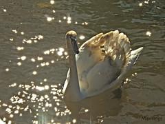 Cisne (marmopi) Tags: aves 70300 otw topshots ultimateshot flickrdiamond mycameraneverlies rubyphotographer