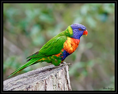 Rainbow Lorikeet (CB 357) Tags: soe day52 naturesfinest supershot aplusphoto flickrenvy colourartaward project3661 abovealltherest worldclassnaturephoto thenewselectbest