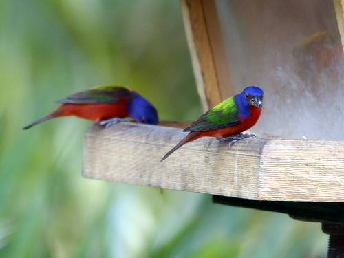 Two Male Painted Buntings 20090225