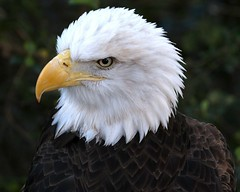 liberty eagle baldeagle houston