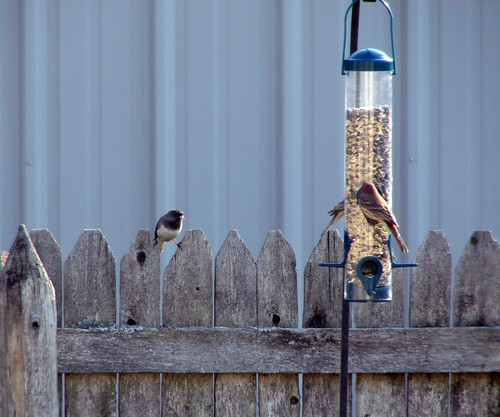 House Finches & Junco