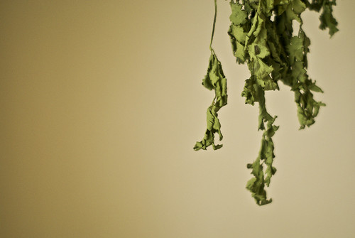 Drying Celantro