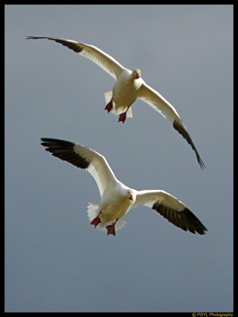 Snow Geese ready for landing
