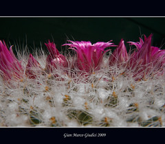 Pungente delicatezza (gianmarco giudici) Tags: flowers cactus white macro colors closeup rosa spine mammillaria piantagrassa flickraward platinumheartawards lumixtz5 awesomeblossoms paololivornosfriends gianmarcogiudici