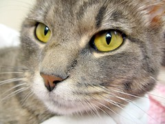 Templeton, Really Sweet Boy Tabby Cat (2) (Pixel Packing Mama) Tags: fantastic lovely1 catsandkittensset heartlandhumanesociety catpix pixelpackingmama tabbycatspool dorothydelinaporter canonpowershota510a520pool worldsfavorite montanathecat~fanclubpool spcacatspool 15favoriteswhenthereisroom closerandclosermacrophotographypool ceruleanthecat~fanclubpool tabbycatsset macrocloseupshotspool kittyfacefacesonlypool thetabbycatgrouppool catcloseupspool catfacespool allcatsallowedpool terrifictabbycatspool thatsgettingupclosepool allthingsmacropool canonpowershota720isiistart112508set canonallcanoniistart112508set thecorvallisoregonyearsiistarting112508set catmacropool uploadedfirsthalfof2009set favoritedpixvoliistartingjanuary12009set uploadedfirsthalfof2009 thecorvallisoregonyearspart7set pixelpackingmama~prayforkyronhorman oversixmillionaggregateviews over430000photostreamviews