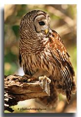 Barred Owl Profile (John Elias Photography) Tags: fall colors dinner island bokeh owl barred