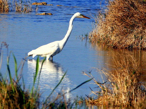 Great Egret 20090321