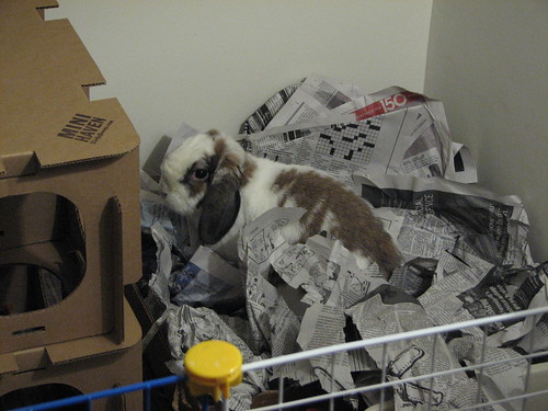 betsy in her box of newspaper