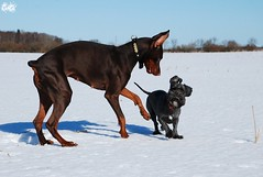 Campary and Villi (Liisaz88) Tags: brown black dogs mutt estonia play land multiple villi dobermann flox campary legrant