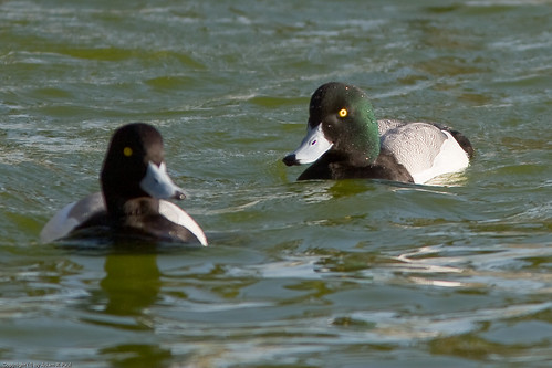 Scaup sp. by you.