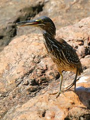 Juv. Green backed Heron (Butorides striata) (Arno Meintjes Wildlife) Tags: africa park wallpaper bird nature southafrica bush wildlife safari krugernationalpark naturesfinest greenbackedheron butoridesstriata supershot specanimal avianexcellence arnomeintjes vosplusbellesphotos