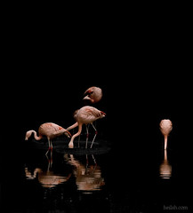 "the dance ll (Heilah Alnasser) Tags: pink black water birds reflections zoo nikon swiss flamingo zurich sigma d100 70300mm 2007 heilah theunforgettablepictures ""theunforgetablepictures"" heilahn"