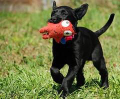 Midnight (Kate D80) Tags: sleeping playing black green beautiful grass sunshine puppy toy outside outdoors happy lab day florida adorable run midnight fetch playful