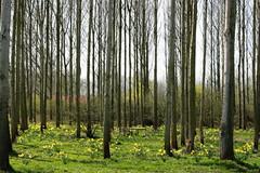 Spring (just.Luc) Tags: trees grass spring bomen belgium belgique belgië arbres gras antwerp lente belgica printemps daffodils antwerpen herbe frühling belgien narcissen narcisses kleinbrabant articulateimages