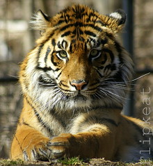 Eye Of The Tiger (flipkeat) Tags: portrait animal closeup fauna cat cub awesome tiger exotic bigcat tigers endangered tigris sumatran  a100 torontozoo eyeofthetiger panthera metrotorontozoo topshots sumatrae critically dslra100 tigredesumatra itsazoooutthere vosplusbellesphotos flickrbigcats bigtigercub