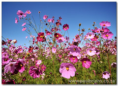 Cosmos (Panorama Paul) Tags: pink flowers searchthebest soe cosmos novideo blueribbonwinner nohdr abigfave shieldofexcellence platinumphoto nikfilters theperfectphotographer nikond300 goldstaraward fairviewwineestate alemdagqualityonlyclub