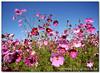 Cosmos (Panorama Paul) Tags: pink flowers searchthebest soe cosmos novideo blueribbonwinner nohdr abigfave shieldofexcellence platinumphoto nikfilters theperfectphotographer nikond300 goldstaraward fairviewwineestate alemdagqualityonlyclub