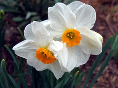 White & orange daffodil. by my wife