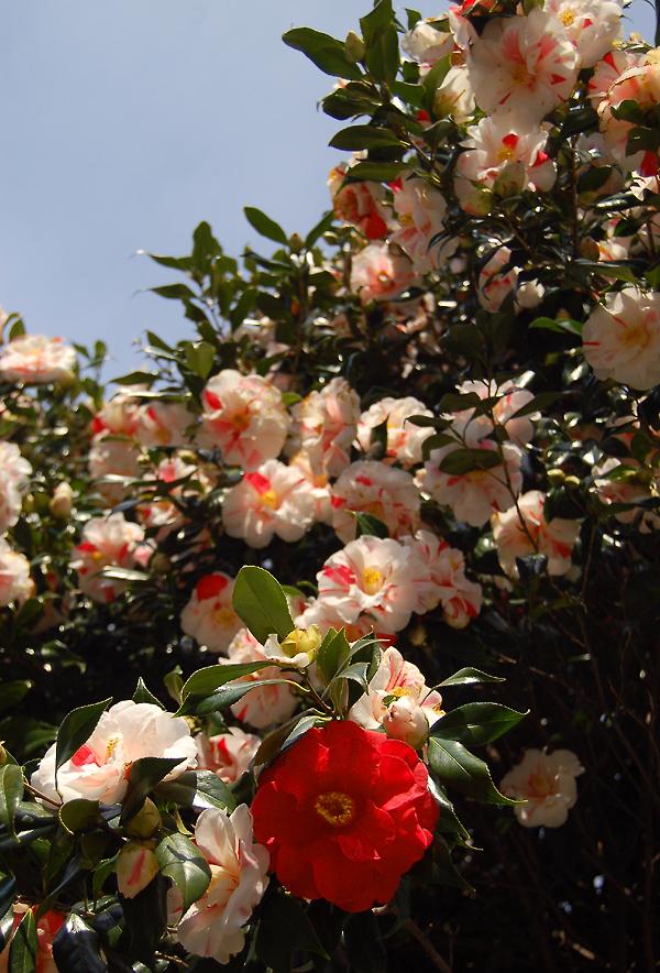 _camellia_