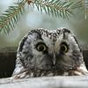 Boreal Owl - Aegolius funereus (Robert Drozda) Tags: alaska fairbanks borealowl beingthere youtalkintome breedingpair doglot drozda aegoliusfunereusnnestingbox