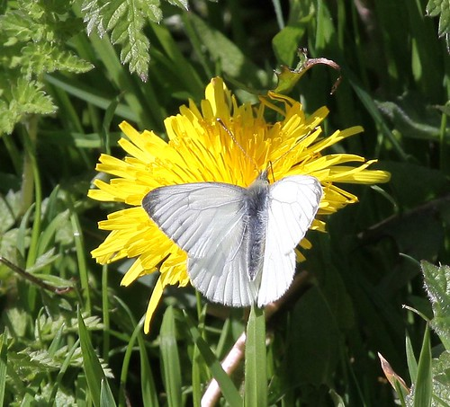 Woodland White Butterfly