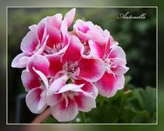 Geranio (Anto_RM) Tags: flowers flower nature rosa natura fiori geranium fiore petali colori pianta geranio fuxia flowerpicturesnolimits
