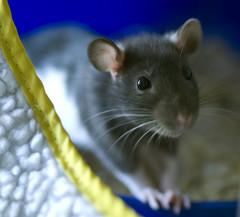 Speck the rat looking cute (mightymia202) Tags: pet cute animal nose rodent nager nagetier eyes rat dumbo whiskers rats belle ratte weiss haustier süss schwarz speck ratten knopfaugen gefleckt barthaare kleintier farbratten speckeld