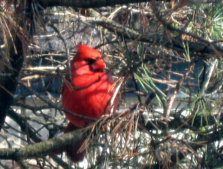 CardinalPine2