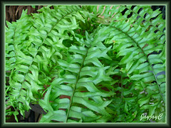 Nephrolepis falcata/biserrata cv. furcans (Fishtail Swordfern) in our garden, May 2009