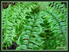 Nephrolepis falcata (Cav.) C. Christens (Fishtail Fern, Fishtail Swordfern, Forked Sword Fern, Weeping Sword-fern)